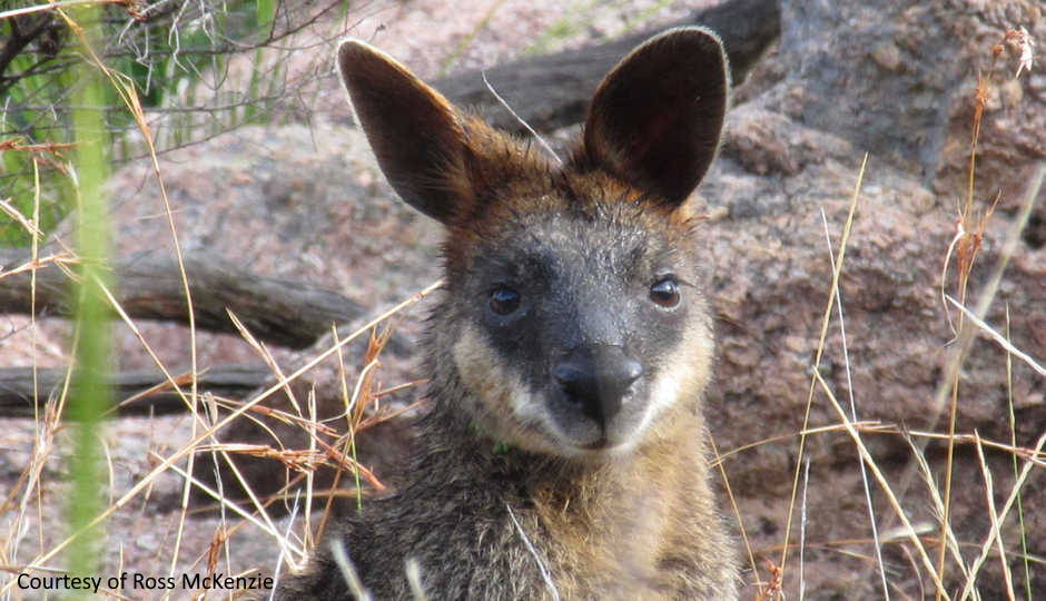 Swamp Wallaby Courtesy of Ross McKenzie